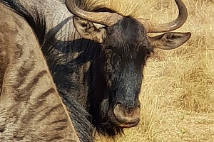 Wildebees